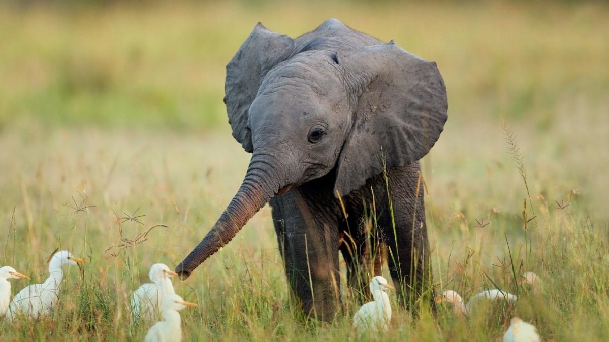 Pourquoi les éléphants ne peuvent-ils pas sauter?